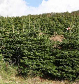 Drzewka bożonarodzeniowe - jodła kaukaska