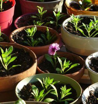 Sadzonki kwiatów, warzyw, rozsady